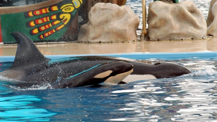 Orca-Parks stehen schon lange unter der Beobachtung von Tierschützern.