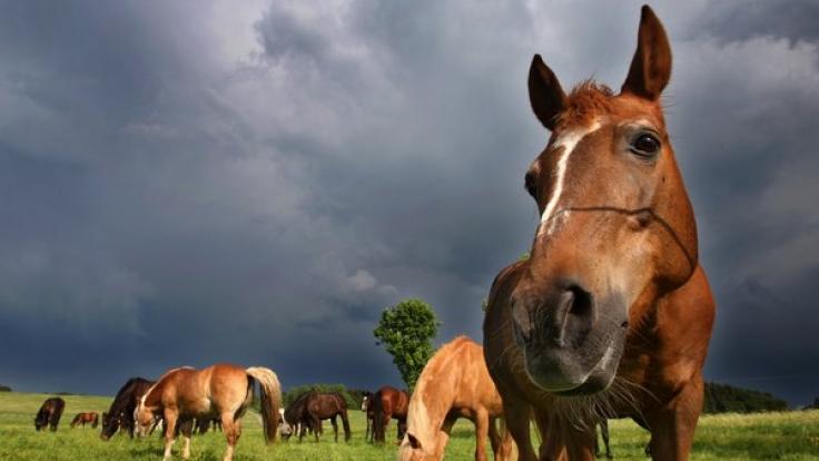 Pferde traben auf einer Wiese in Schwaben. Die menschliche Tierliebe hat eine enorme Bandbreite, wie ein Sodomie-Fall in Hamburg zeigt  (Foto)