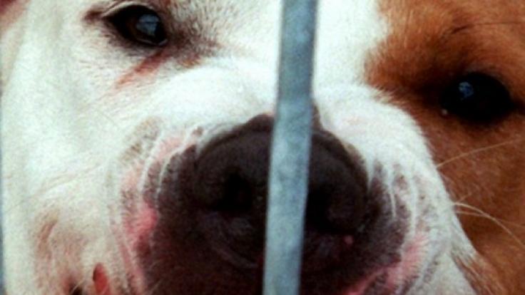 In England wurde eine Frau von ihren eigenen Hunden zu Tode gebissen. (Symbolbild)