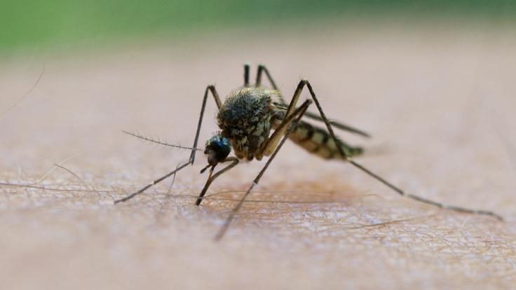 Mücken können mit einem Stich Viren und Bakterien übertragen, die gefährliche Krankheiten verursachen. (Foto)