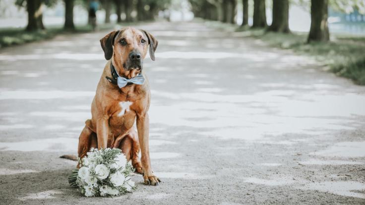 Eine 49-jährige Frau aus Großbritannien ist es leid erfolglos Männer zu daten und beschließt deshalb ihren Golden Retriever Logan zu heiraten. (Foto)