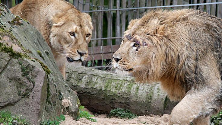 Aus dem Eifelzoo in Bitburg sind Löwen, Tiger und ein Jaguar entflohen. (Symbolbild)