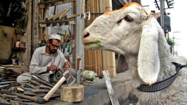 In den islamischen Ländern hat das Opferfest Eid al-Adha begonnen. Schafe oder Ziegen gelten dabei als beliebtes Opfertier für die rituelle Schlachtung. (Foto)