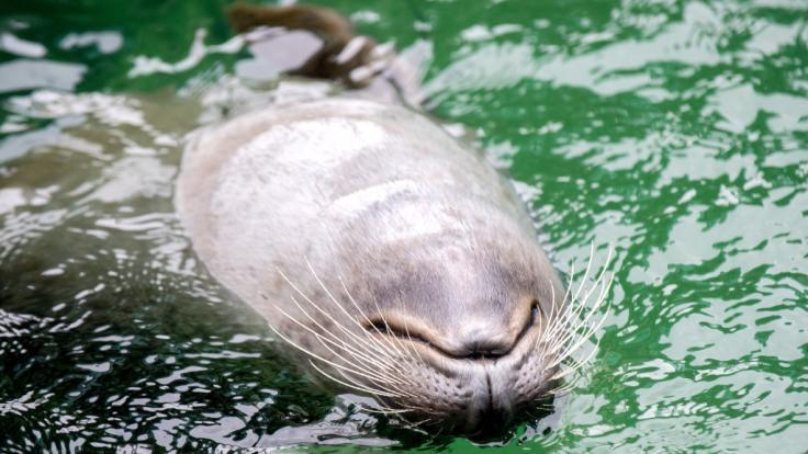 Seehunde in Wilhelmshaven werden jetzt per Drohne gefüttert. (Foto)