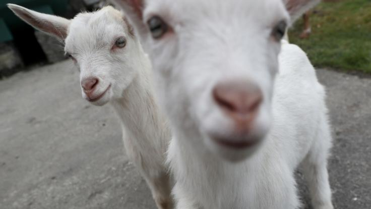 Das Trio soll sich unter anderem auch an Ziegen vergangen haben (Symbolbild).