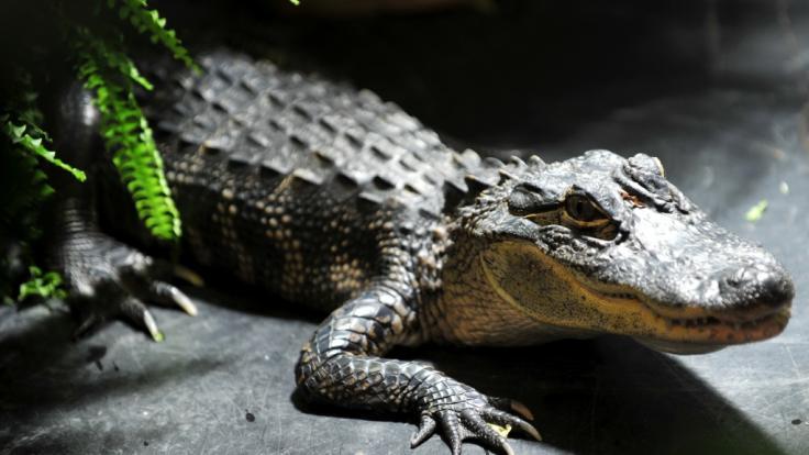 In den USA hat ein Alligator ein Polizeiauto angegriffen (Symbolbild).