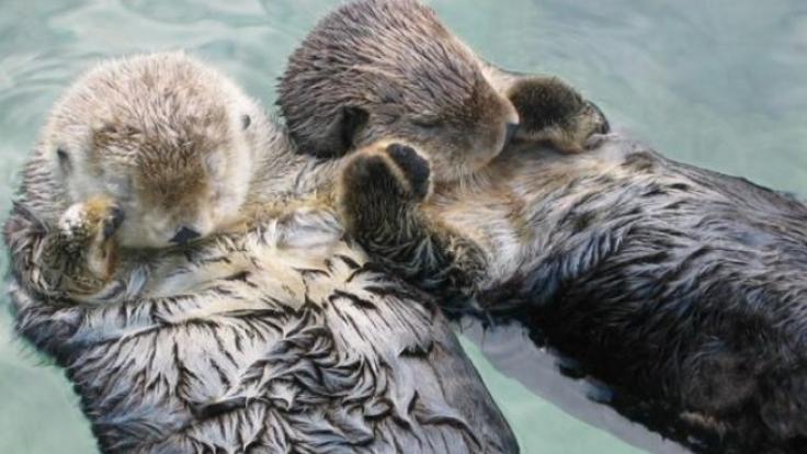 Schlafende Otter halten Händchen, um nicht davonzutreiben. Süß, oder?