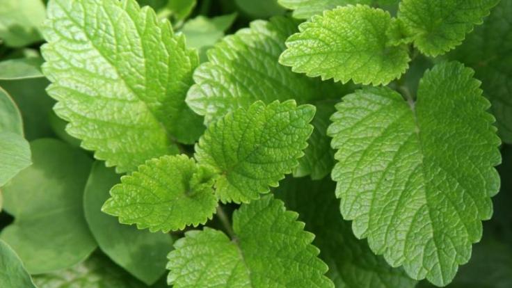 Pflanze gegen Stess: Melisse hat eine beruhigende Wirkung.