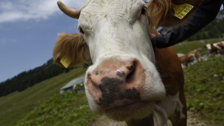 Von den vermeintlich Toten auferstanden ist eine Kuh in Baden-Württemberg.