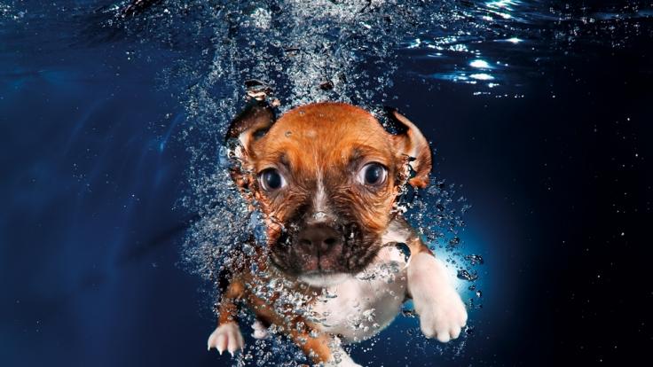 Der sechs Wochen alte Beagle-Mischling Ava schaut noch skeptisch in die Kamera. (Foto)
