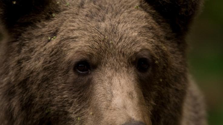In Rumänien soll Prinz Emanuel von und zu Liechtenstein laut Tierschützern fälschlicherweise einen riesigen Bären geschossen haben. (Foto)