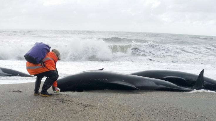 Ein Dutzend gestrandete Pottwale an der Küste Neuseelands stellt ein Rätsel für Forscher dar. (Foto)