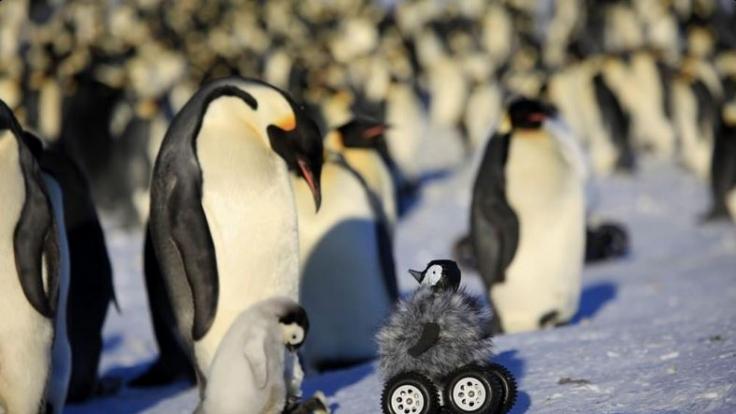Roboter-Pinguin erforscht Kaiserpinguine in ihrem natürlichem Lebensraum.