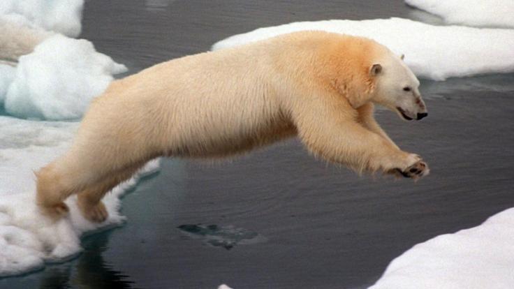 Zu viele Eisbären - deswegen haben die Behörden auf Nowaja Semlja den Notstand ausgerufen.