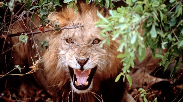 Eine Löwen-Attacke bezahlte ein Safari-Teilnehmer in Tansania um ein Haar mit dem Leben. (Foto)