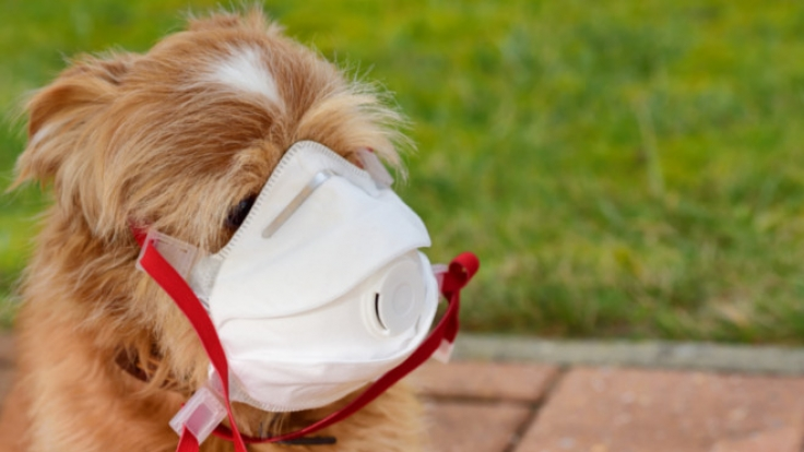 In Hongkong hat sich jetzt ein Hund mit dem Coronavirus infiziert.