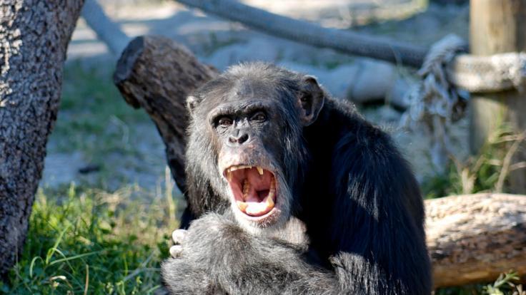 Ein Schimpanse tötete Reality-TV-Star Olli Ollerton beinahe. (Foto)