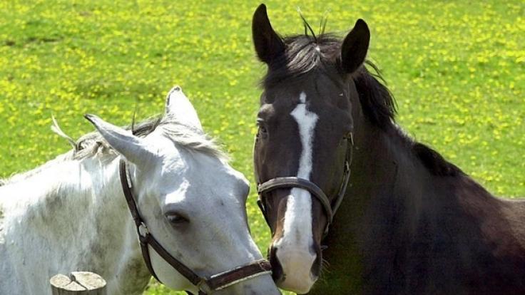 Ein perverser Tierquäler hat ein Pferd auf einer Koppel im sächsischen Klipphausen so gequält, dass das Tier schwere Verletzungen erlitt und eingeschläfert werden musste (Symbolbild).