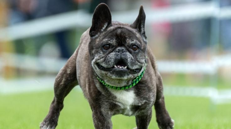 In Schottland hat eine Bulldogge einen 22-Jährigen mit Bissen kastriert - allerdings scheint das Opfer die Tat provoziert zu haben (Symbolbild).