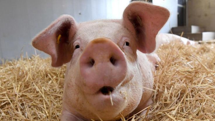 Die extrem gezüchtete Schweinerasse Duroc hat kaum etwas mit dem gemeinen Hausschwein gemein. (Foto)