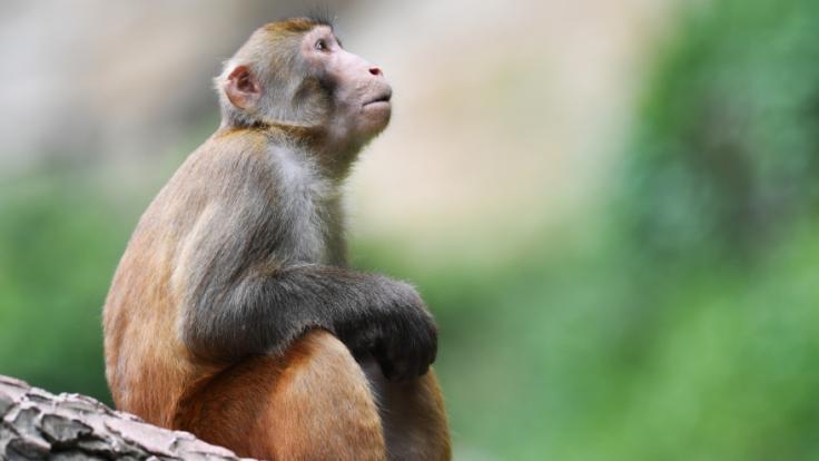 Einem Medienbericht zufolge ist ein Tierarzt in China verstorben, nachdem er sich mit der Affen-B-Seuche angesteckt hat. (Foto)