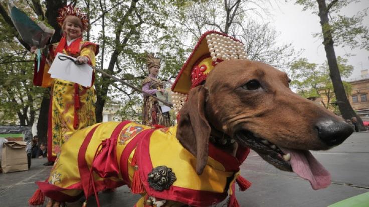 Wahrhaft royal, dieser Dackel, der als Kaiser von China verkleidet zur Parade in St. Petersburg kam. (Foto)