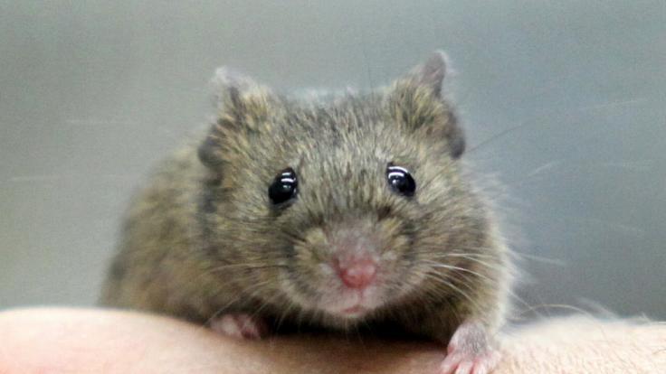 Blinde Mäuse geheilt