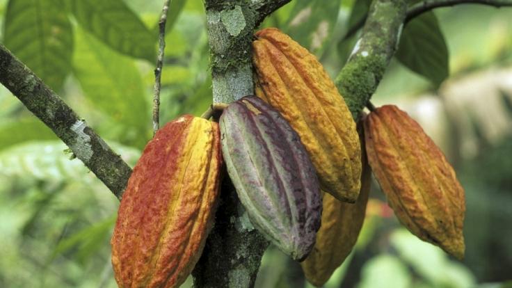 Kakaobohnen in Bahia, Brasilien. (Foto)