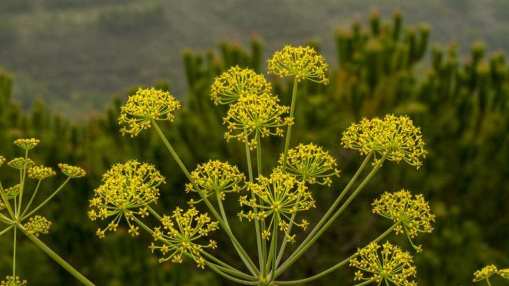 Neue Studie: Schützt das PflanzengiftThapsigargin gegen das Coronavirus? (Foto)