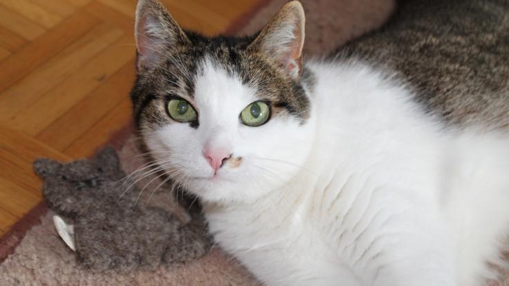 Katzenspielzeug auf dem Prüfstand: Holly testet das Catlabs-Spielzeug mit Katzenminzefüllung auf Herz und Nieren. (Foto)