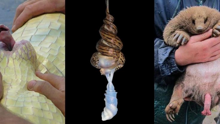 Die Welt der Tierpenisse ist wirklich sehr skurril.