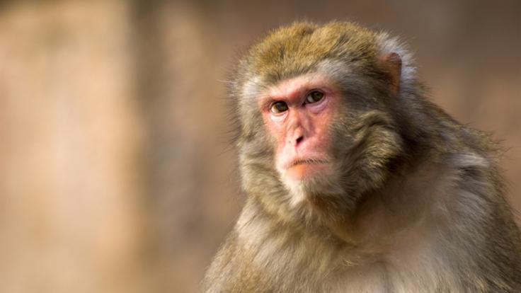 Affen in Indien haben zwei Babys entführt und eines davon getötet. (Foto)