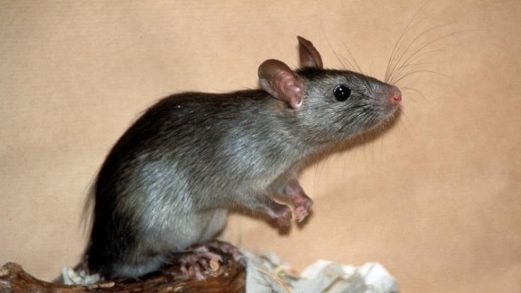 An Ratten ist der Versuch geglückt:Eine Penis-Salbe steigert ihre Erektionsfähigkeit. (Foto)