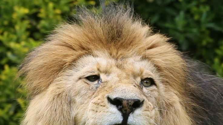 In einem Zirkus in Frankreich kam es während einer Darbietung zu einem Horror-Unfall, als ein Löwe seinen Dompteur anfiel und schwer verletzte (Symbolbild). (Foto)