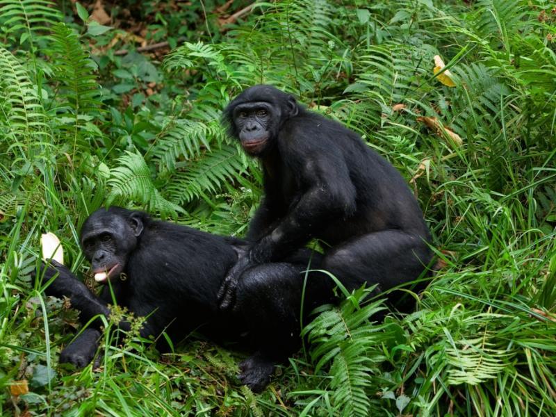 Секс с шимпанзе фото 4 фотография