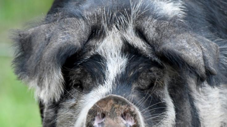 Von wegen harmlos: In China hat ein Schwein einen zwei Jahre alten Jungen gefressen.