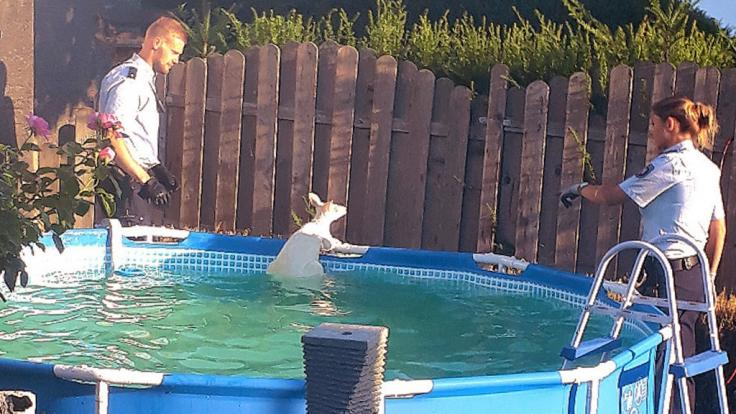 Das Känguru war auf der Flucht aus einem Gehege in der Nachbarschaft in den Pool gesprungen. (Foto)