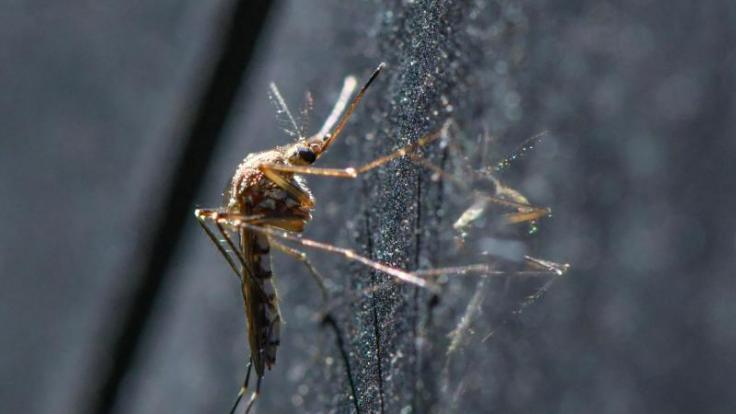 Mücken-Plage in Deutschland: Insekten breiten sich rasant aus.