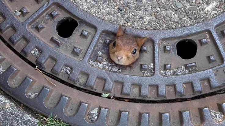 Die Feuerwehr Dortmund musste ein Eichhörnchen aus einem Gullydeckel befreien.