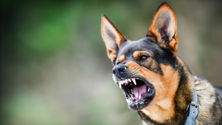 Mehrere Hunde haben einen 7-Jährigen zerfleischt. (Foto)