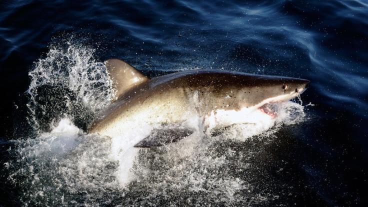 Ein Surfer wurde an der Ostküste Australiens von einem Hai schwer verletzt. (Symbolfoto) (Foto)
