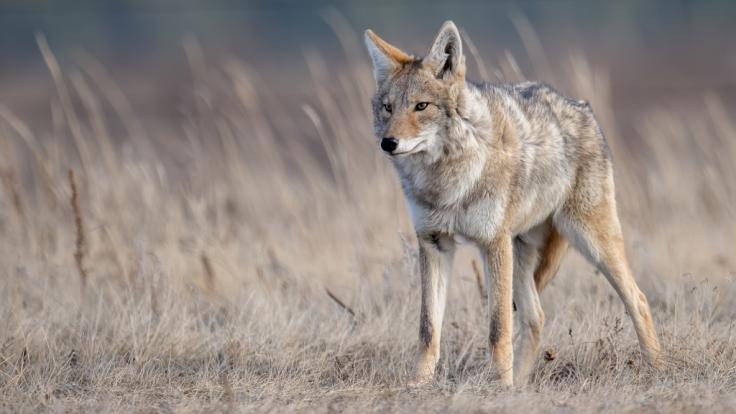 Ein Kojote soll eine Dreijährige angefallen haben. (Foto)