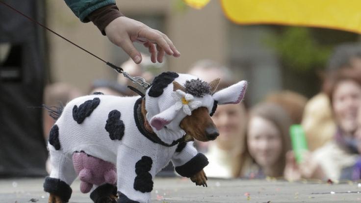Selbst mit gestricktem Euter wagten sich Dackel als Kuh verkleidet auf die Straßen St. Petersburgs. (Foto)