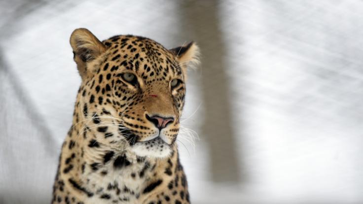 Ein Junge wurde in Thailand von einem Leoparden attackiert. (Foto)