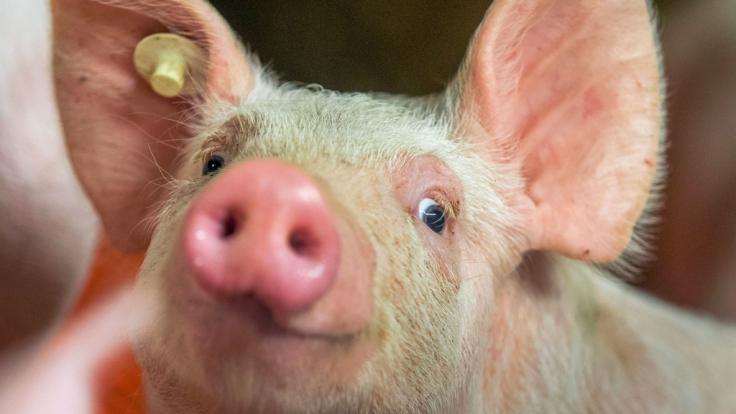Wie ein normales Ferkel sah der Schweinenachwuchs, der auf den Philippinen zur Welt kam, nicht aus... (Symbolbild) (Foto)