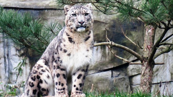 Schneeleopard Sagar kommt aus dem Saarland und wird das neue Tier-Orakel zur Fußball-WM 2018.
