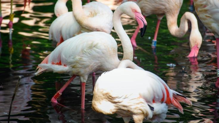 Älter ist kein anderes Tier im Berliner Zoo: Flamingo Ingo wird bald 72.