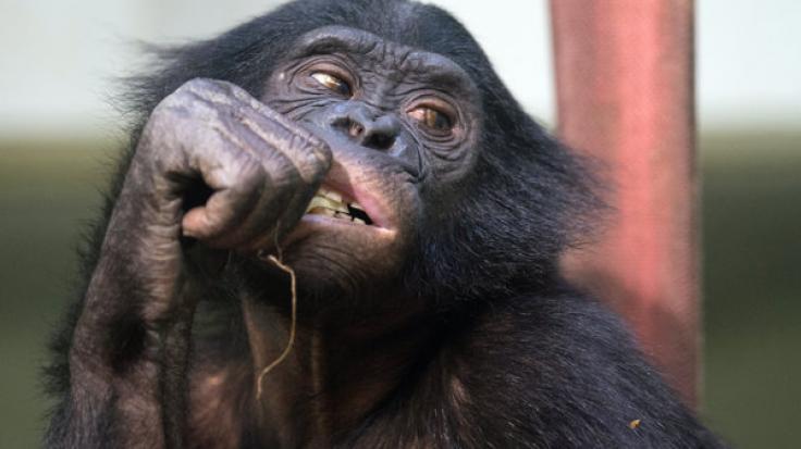 Masturbation ist im Tierreich völlig normal. Besonders Affen scheinen im Bezug auf die eigene Lust besonders kreativ zu sein. (Foto)