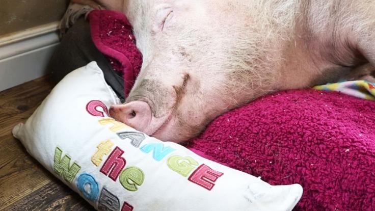 Die 100 witzigsten Tiere - Ich glaub, mein Schwein pfeift bei RTL (Foto)