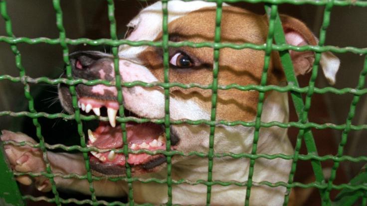 Der Kampfhund verbiss sich in dem Fahrgast. (Symbolbild) (Foto)